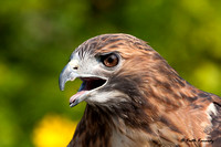 """SkyWalker"", Red-tailed Hawk, Schlitz Audubon Nature Center (captive animal)"