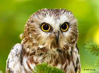 """Oracle"" Northern Saw-whet Owl, Schlitz Audubon Nature Center (captive animal)"