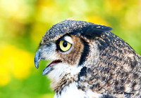 """Tskili"", Great Horned Owl, Schlitz Audubon Nature Center (captive animal)"