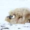 Polar Bear males sparring
