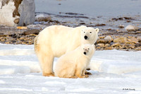Polar Bear female with first year cub