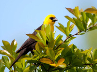 Yellow-headed Blackbird, Racine, WI