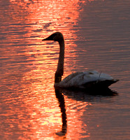 Trumpeter Swan, sunset at Goose Pool, Necedah NWR