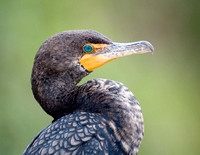 Double-crested Cormorant, Anhinga Trail, Everglades NP